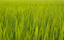 Green rice paddy field agriculture in asia beautiful background. Color stock photography