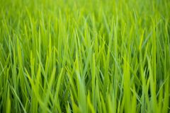 Green rice paddy field agriculture in asia beautiful background. Color royalty free stock photos