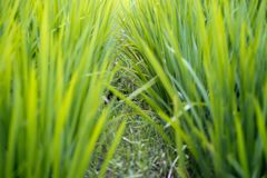 Green rice paddy field agriculture in asia beautiful background. Divider stock images