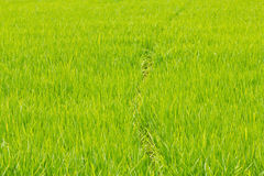 Green rice paddy Royalty Free Stock Images