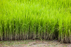 Green rice paddy field with mud Stock Photography