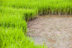 Green rice paddy field with mud Royalty Free Stock Images