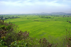 Green rice paddy field, Thailand. Royalty Free Stock Image