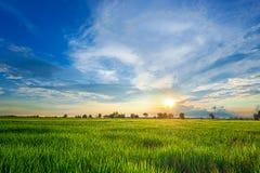 Green rice paddy fields Stock Image
