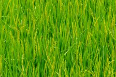 Green rice paddy fields, and is soon up to the seed harvest. The beauty of green rice paddy fields, and is soon up to the seed harvest in Thailand royalty free stock photography