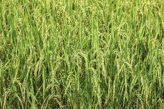 Green rice paddy fields and is soon up to the seed harvest.  stock images