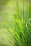 Green rice paddy plant Royalty Free Stock Photos