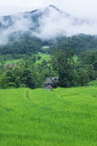 Green rice paddy terrace in Thailand Royalty Free Stock Image