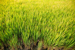 Green rice paddy in Thailand Royalty Free Stock Photo