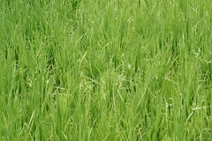 Green Rice Plant In the Farm Royalty Free Stock Photos