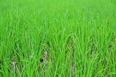 Green rice plant Royalty Free Stock Images