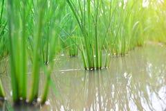 Green rice plant Stock Image