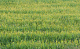 Green rice plant Royalty Free Stock Image