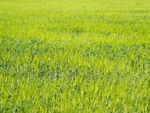 Green rice plant in rice field Royalty Free Stock Photo