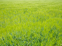 Green rice plant in rice field Stock Photo