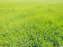 Green rice plant in rice field Royalty Free Stock Photography