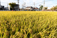 Green rice plant. Ripening rice in a paddy field., Green rice plant Stock Photos
