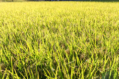 Green rice plant. Ripening rice in a paddy field., Green rice plant., Ripening rice Stock Photo