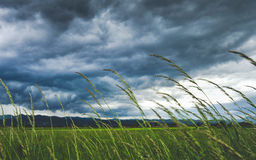 Green Rice Plant Under Gray Cloudy Sky Stock Photography