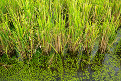 Green rice plant. Royalty Free Stock Photography
