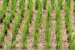 Green rice plants Royalty Free Stock Images