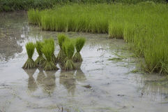 Green rice plants Royalty Free Stock Photography