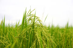 Green Rice Plants Stock Photography