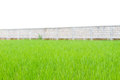 Green rice plants in front of wall isolated on white background, Royalty Free Stock Photography