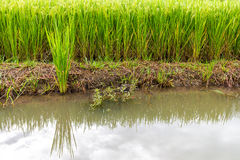 Green rice plants Stock Images