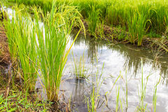 Green rice plants Royalty Free Stock Photo