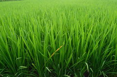 Green rice plants in irrigation fields Stock Image