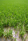 Green rice plants in irrigation spring fields Stock Photos