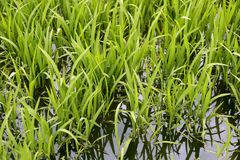 Green rice plants in irrigation spring fields Royalty Free Stock Image