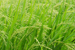 Green  rice in the rice field Royalty Free Stock Photos