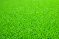 Green Rice seedlings Stock Photos