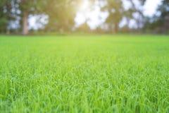 Green rice seedlings field stock photo