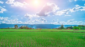 Green rice seedlings in a paddy rice field with beautiful sky and cloud. The sun setting over a mountain range in the background, Rural scene  phuluang royalty free stock photography