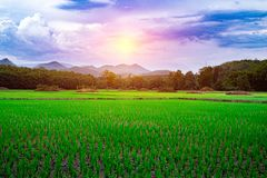 Green rice seedlings in a paddy rice field with beautiful sky and cloud. The sun setting over a mountain range in the background, Rural scene  phuluang royalty free stock photos