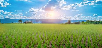 Green rice seedlings in a paddy rice field with beautiful sky and cloud. The sun setting over a mountain range in the background, Rural scene  phuluang stock photo