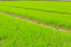 Green of rice seedlings in the rice farm. Royalty Free Stock Photo