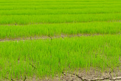 Green of rice seedlings in the rice farm. Stock Photo