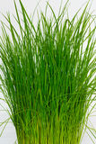Green rice seedlings Royalty Free Stock Images