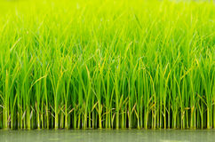 Green Rice Shoots Stock Image