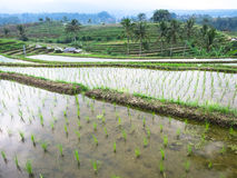 Green rice sprout on cleared water in rice terrace paddy fields. With curve lines and mountain view Stock Photos