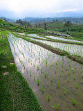 Green rice sprout on cleared water in rice terrace paddy fields. With water reflection, curve lines and mountain view Stock Photography