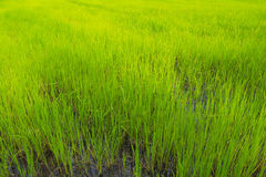 Green rice sprout ready to growing in the rice field Royalty Free Stock Photography