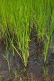 Green rice sprout ready to growing in the rice field Royalty Free Stock Photo
