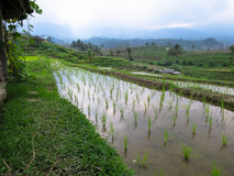 Green rice sprout on rice terrace paddy fields with curve lines. And mountain view and local kiosks Stock Image