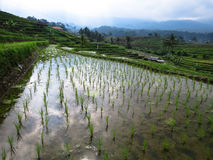 Green rice sprout and water reflection on rice terrace paddy fie. Lds with curve lines and mountain view Royalty Free Stock Images