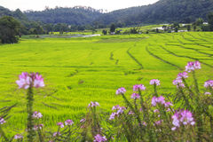 Green rice terrace field with pink flowers in foreground Royalty Free Stock Photos